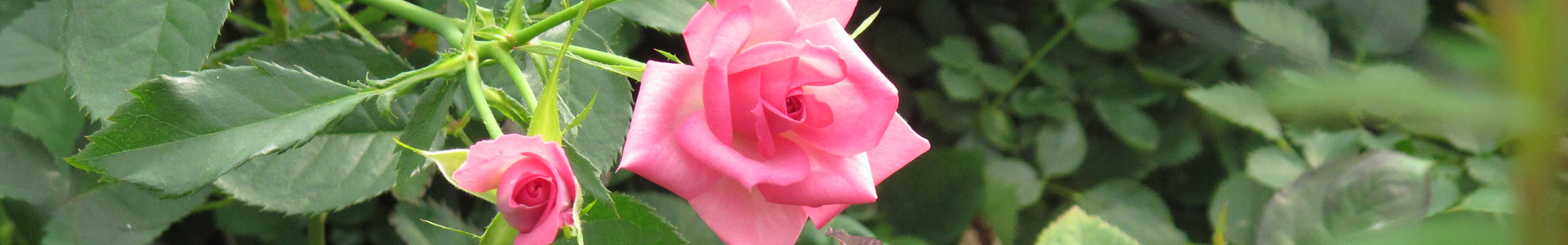 私たちのバラについて