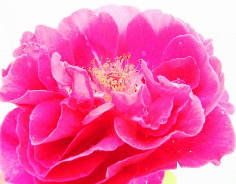 バラたち…それぞれの役割