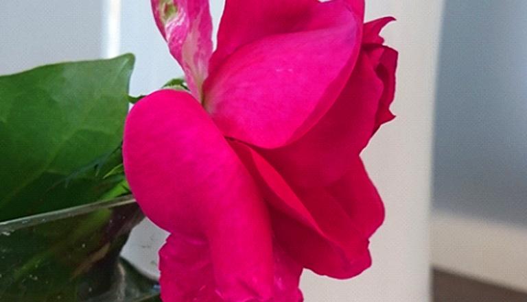 短く挿していたバラですが、数日たち、水分が落ち、花びらが力を失っています。