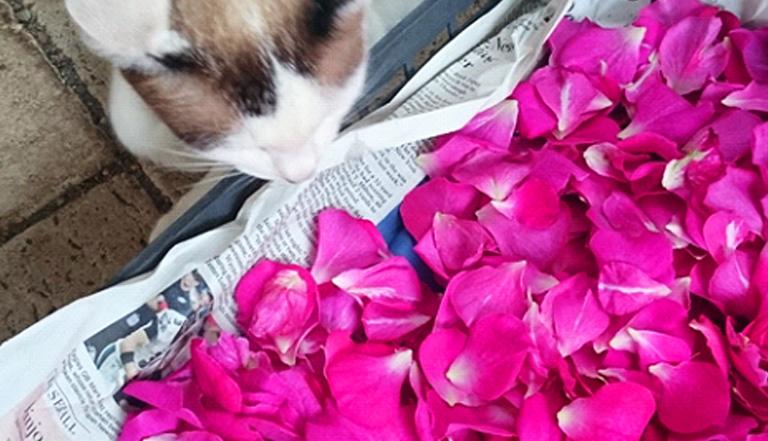 これだけ咲き切ると、あとは寿命が短いので、こちらの品種(ドラマティックレイン)は、元気なうちに花びらをちぎり、ポプリにします。(しおれてしまってからもポプリにできますが、香りや見た目の美しさの点からは、花びらに張りがあるうちにした方が上手くできあがります)