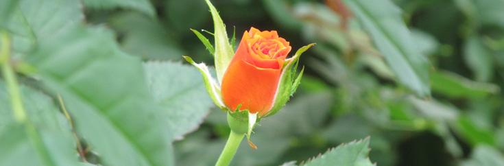 「命」に向き合い育てた高品質なバラたち
